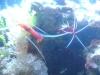 Tierbilder Galerie Stieglecker - Meerwasser Garnele - die Geißelgarnele (Penaeidae), die Tiefseegarnele (Pandalidae), die Felsengarnele (Palaemonidae) und die Sandgarnele (Crangnidae).