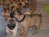 Hundebetreuung Wien - Welpen / Die wenigsten Menschen, die sich einen kleinen Hundeschatz anschaffen, sind sich bewusst, welch ungeheures Lernpensum ein Welpe innerhalb weniger Wochen bewältigt.