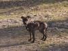 Hundebetreuung Wien -  Hundewelpen / Eine Gruppe gleichzeitig geborener Welpen wird als Wurf bezeichnet.