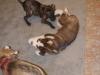Hundebetreuung Wien -  Hundewelpen / Von der dritten Woche an beginnen die Welpen vorgewürgte Nahrung neben der Muttermilch aufzunehmen.